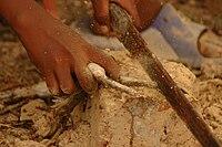 Préparation de grenouille.jpg