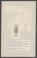 Praniza coerulata - - Print - Iconographia Zoologica - Special Collections University of Amsterdam - UBAINV0274 006 03 0063.tif