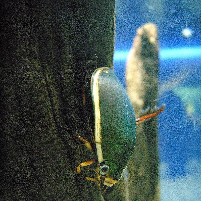Predaceous diving beetle.jpg