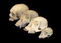 Primate skull series blank.png