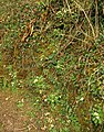 Primroses near Harberton - geograph.org.uk - 1161167.jpg
