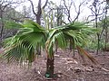 Pritchardia schattaueri, Koko Crater Botanical Garden - IMG 2255.JPG
