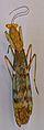 Prohierodula laticollis TPopp.jpg