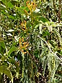 Prosopis sp. infected by Psittacanthus calyculatus.jpg