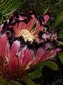 Protea neriifolia Potberg 02.jpg