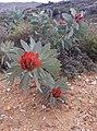 Protea nitida02.jpg