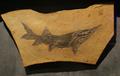Protopsephurus fossil- Bishop Museum.png