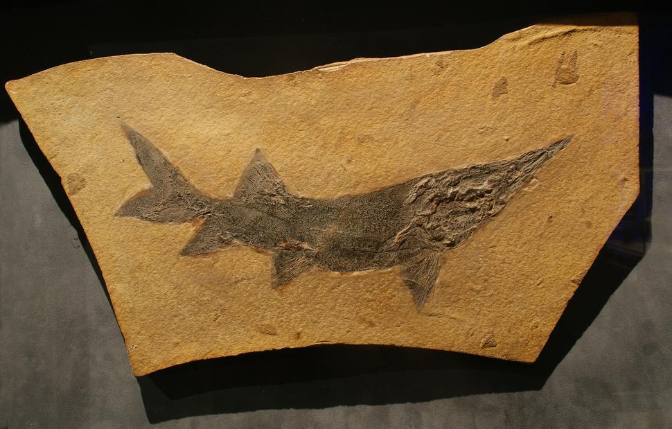 Protopsephurus fossil- Bishop Museum