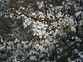 Prunus-spinosa-flowers.JPG