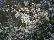 Насіння Терен колючий (Prunus spinosa)