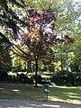 Prunus cerasifera, 2020 Marcali.jpg