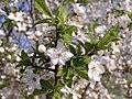 Prunus cerasus (AB).jpg