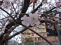 Prunus cornigliano.JPG