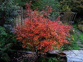 Prunus incisa - cultivar 'Kojo-no-Mai'