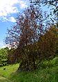 Prunus padus colorata.jpg