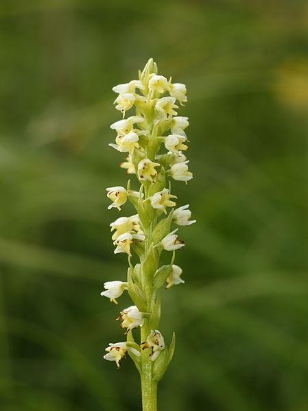 File:Pseudorchis albida (flowers).jpg