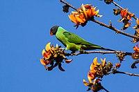 Psittacula himalayana, Corbett NP, India.jpg