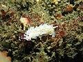 Pteraeolidia ianthina 5.jpg