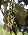 Pterospermum diversifolium 02.JPG