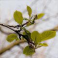 Pterostyrax psylophyllus boutons floraux.jpg