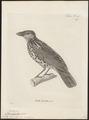 Ptilonorhynchus buccoïdes - 1700-1880 - Print - Iconographia Zoologica - Special Collections University of Amsterdam - UBA01 IZ16400225.tif