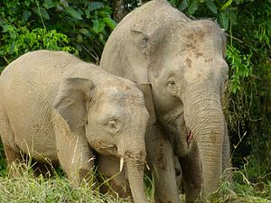Pygmy Elephants (Elephas maximus borneensis) mother and son (8074127392).jpg