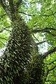 Pyrrosia eleagnifolia kz7.jpg