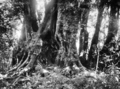 Queensland State Archives 419 An Antarctic Beech Tree Lamington National Park Beaudesert Shire September 1933.png