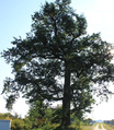 Quercus.robur.szulmierz.png