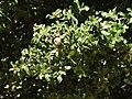 Quercus coccifera ulistnienie i owoce.jpg