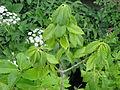Quercus pontica (17291607583).jpg