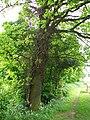 Quercus robur (English Oak) (3539064525).jpg