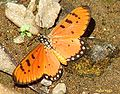 RN021 Acraea violae UP.jpg