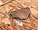 ROADSIDE-SKIPPER, ORANGE-EDGED (Amblyscirtes fimbriata) (6-26-13) (9151466595).jpg