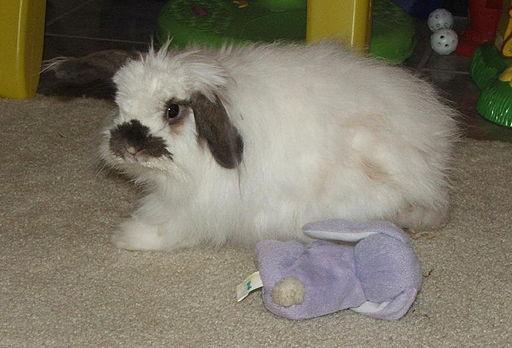 Rabbit american fuzzy lop buck white