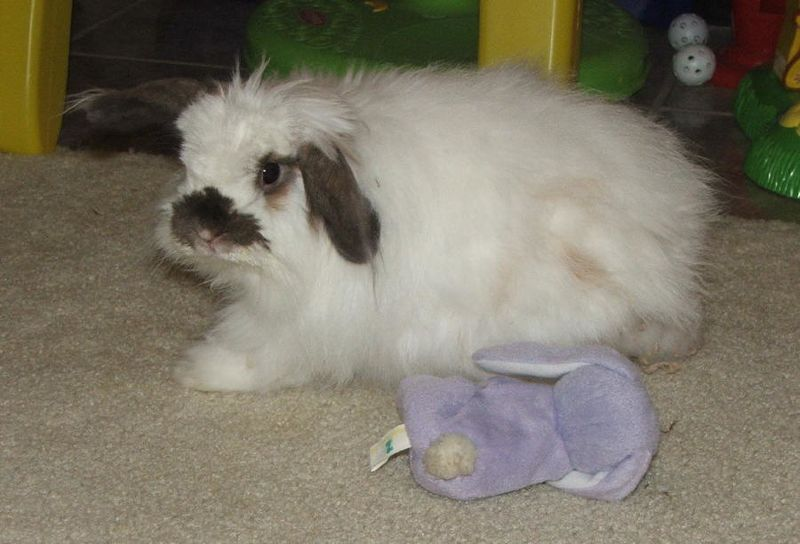 American Fuzzy Lop Image by Lithonius From Wikimedia Commons, the free media repository