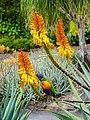 Rainbow lorikeet and Aloe sp Brisbane Botanic Gardens Mt Coot-tha P1030139.jpg