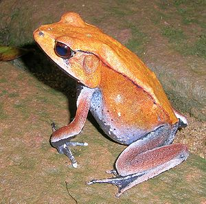 Bicolored frog - Image: Rana Curtipes 2
