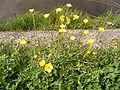Ranunculus bulbosus plant.jpg