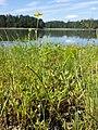 Ranunculus flammula sl7.jpg
