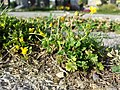 Ranunculus sardous subsp. sardous sl21.jpg