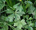 Ranunculus sceleratus ENBLA03.jpg