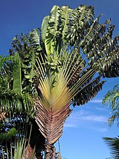 tall, fan-like palm tree