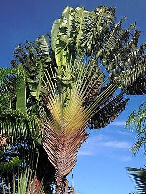 Ravenala madagascariensis Maui