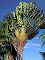 Ravenala madagascariensis Maui.jpg