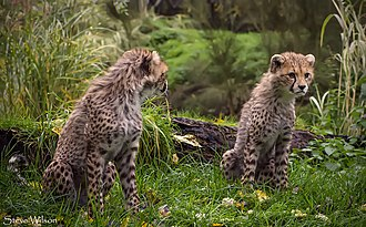Northeast African cheetah - Two cheetah cubs in Chester Zoo
