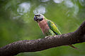 Red-Breasted Parakeet (Female).jpg