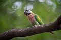 Red-Breasted Parakeet (Female).jpg