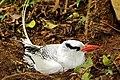Red-billed tropicbird (Phaethon aethereus mesonauta) nesting.jpg