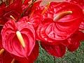 Red Anthurium from Kerala.jpg